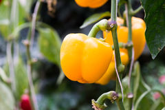Bell peppers hanging on tree Stock Photos