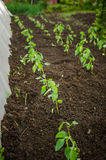 Bell-peppers seedlings in the garden Royalty Free Stock Images
