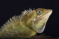 Bell's angle head lizard (Gonocephalus bellii) Stock Photo
