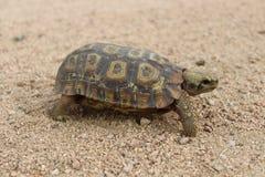 Bell's hinge-back tortoise Royalty Free Stock Photography