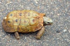 Bell Scharnier-zurückschildkröte (Kinixys-belliana) stockbilder