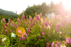 Bell-shaped foxgloves in summer bloom; this is a source of medicine known as Digoxin (British Formulary) Royalty Free Stock Photos