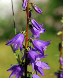 Bell-Shaped Larkspur Stock Photos