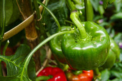 Bell sweet pepper growing in the agricultural farm Royalty Free Stock Photo