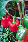 Bell sweet pepper growing in the organic farm Royalty Free Stock Photography
