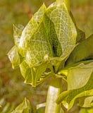 Bell von Irland-Blumen lizenzfreie stockfotos