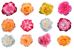 Bella accumulazione dei fiori di rosa Immagine Stock
