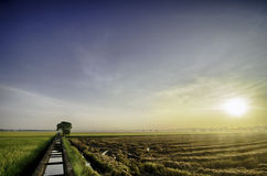 Bella alba alla risaia gialla prima della raccolta spazio vuoto alla destra singolo canale dell'acqua del calcestruzzo e dell'alb Immagine Stock