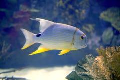 Bella aletta tropicale di colore giallo dei pesci Immagine Stock