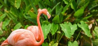 Bella arancia del fenicottero dell'uccello sul fondo della pianta tropicale di verde della natura/fenicottero caraibico immagine stock libera da diritti