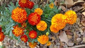Bella arancia del fiore Immagini Stock Libere da Diritti