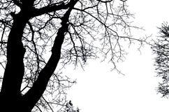 Bella arte dei rami di mancanza dell'albero scoperto su fondo bianco fotografie stock libere da diritti