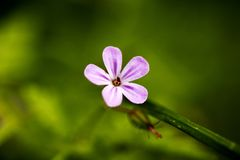 Bella arte macra del fondo de la familia del Geraniaceae de la flor del robertianum del geranio en los productos de alta calidad  imagen de archivo