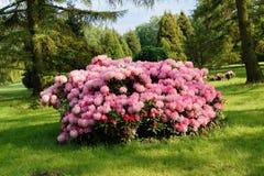 Bella azalea di fioritura - rododendro del rododendro fotografia stock