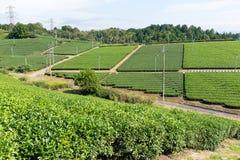 Bella azienda agricola fresca del tè verde Immagine Stock Libera da Diritti