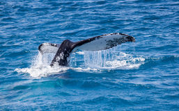 Bella balena Fotografia Stock Libera da Diritti