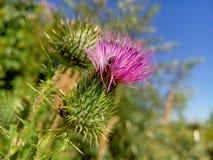 Bella bardana porpora fra erba verde Fotografia Stock