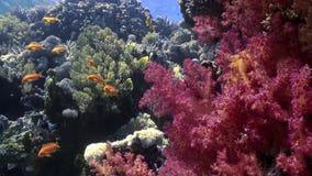 Bella barriera corallina molle rossa in acqua tropicale video d archivio