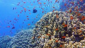 Bella barriera corallina sana con il banco o il pesce di corallo variopinto immagini stock libere da diritti