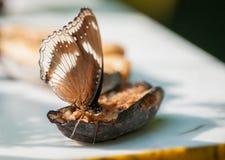 Bella baterfly disposizione dei sedili tropicale su una metà di una frutta Fotografia Stock Libera da Diritti