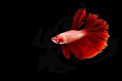 Bella Betta Fish rossa ha isolato Immagini Stock Libere da Diritti