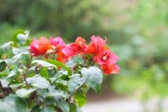 Bella buganvillea dei bonsai Fotografia Stock Libera da Diritti