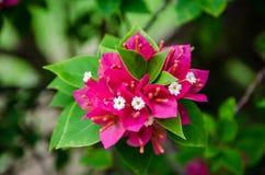 Bella buganvillea di fioritura Fotografia Stock Libera da Diritti