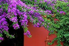 Bella buganvillea fucsia rosa e parete rossa Immagine Stock