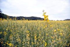 Bella canapa delle indie gialla del fiore in natura Paesaggio del paesaggio e sfondo naturale fotografie stock