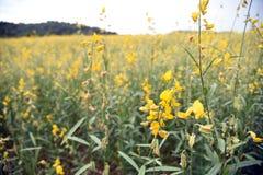Bella canapa delle indie gialla del fiore in natura Paesaggio del paesaggio e sfondo naturale immagini stock