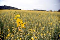 Bella canapa delle indie gialla del fiore in natura Paesaggio del paesaggio e sfondo naturale fotografia stock libera da diritti