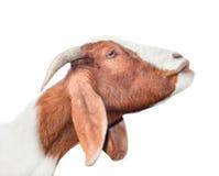 Bella, capra bianca e rossa sveglia e giovane isolata su fondo bianco Animali da allevamento Prova divertente della capra per bac Immagini Stock Libere da Diritti
