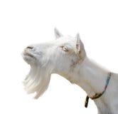 Bella, capra bianca sveglia e giovane isolata su fondo bianco Animali da allevamento Prova divertente della capra per baciare qua Immagine Stock Libera da Diritti