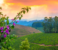 Bella carta delle piantagioni di tè del paesaggio in una foschia prima dell'alba Fotografia Stock