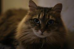 Bella Cat On lo strato Gatto sveglio Fotografia Stock