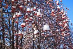 Bella cenere di montagna dei rami coperta di neve immagine stock libera da diritti