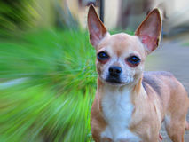 Bella chihuahua Fotografie Stock Libere da Diritti