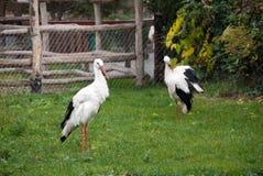 Bella cicogna bianca delle coppie Fotografie Stock
