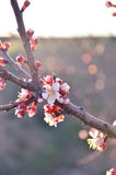 Bella ciliegia di fioritura Fotografia Stock