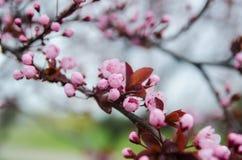 Bella ciliegia giapponese di fioritura - Sakura Fotografia Stock