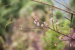 Bella ciliegia himalayana selvatica di fioritura Fotografie Stock