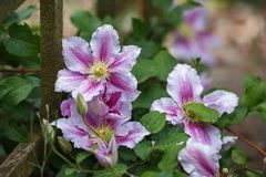 Bella clematide rosa-intenso e porpora del fiore in giardino fotografia stock