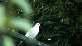 Bella colomba di bianco video d archivio