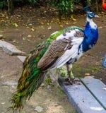 Bella condizione iridescente su un banco, pavone del pavone nei colori bianchi, blu, marroni e verdi, nel colore e nelle mutazion fotografia stock