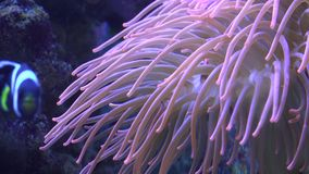 Bella Coral Reef molle tropicale 4K UltraHD, UHD video d archivio