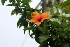 Bella crescita di fiori dell'ibisco nel giardino Immagini Stock