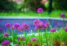 Bella crescita di fiori porpora dell'allium in un giardino Fotografia Stock Libera da Diritti
