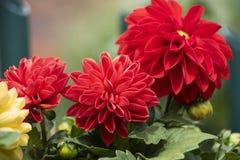 Bella dalia di fioritura rossa e fondo verde Immagine Stock