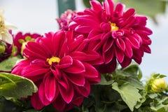 Bella dalia di fioritura rossa e fondo verde Fotografie Stock