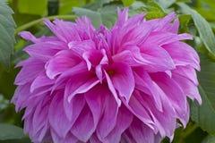 Bella dalia rosa in giardino fotografia stock